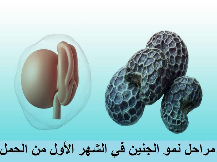 مراحل نمو الجنين في الشهر الأول من الحمل
