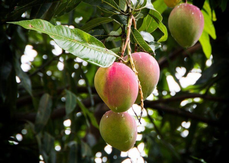 السعرات الحرارية في المانجو - القيمة الغذائية للمانجو