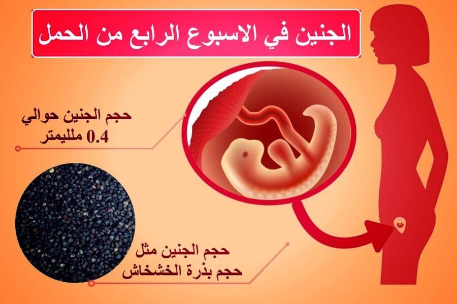 حجم الجنين في الاسبوع الرابع من الحمل